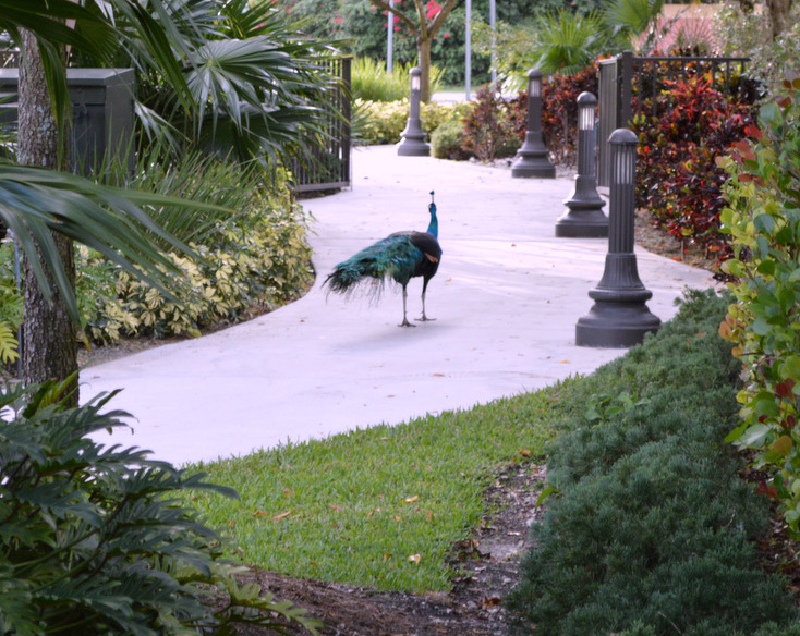 peacock strolling on the sidewalk