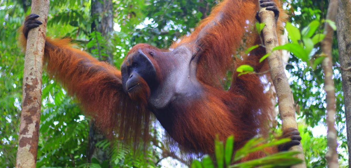 Meet the orangutan