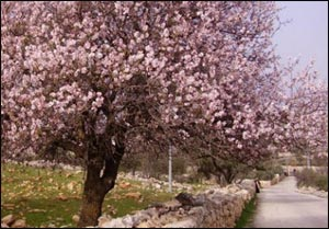 Blooming almond tree in Israel