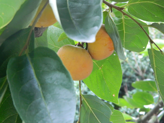 Persimmon fruits in golden yellow in Korea