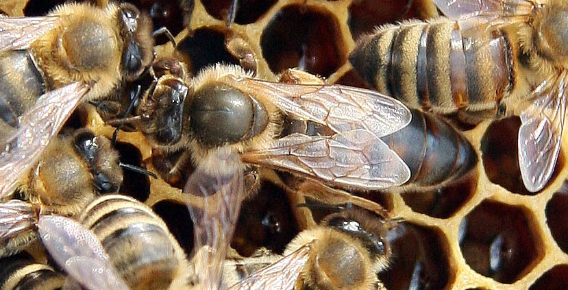 honey bees queen drone and worker with 2012 05 01 Archive on Bie in addition Whats Wrong With My Hive together with 8254457543 97077cd3cc k also Honeybee Photos further PicturesOfBee.