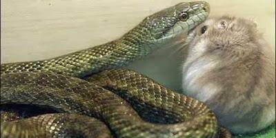 bukannya-dimakan-ular-ini-malah-berteman-dengan-hamster.jpg (640×320)