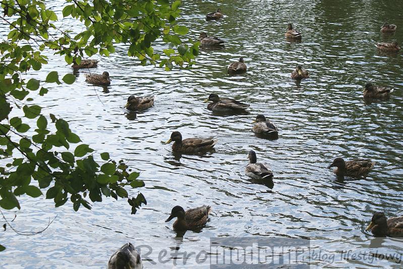 Kaczki pływają w stawie