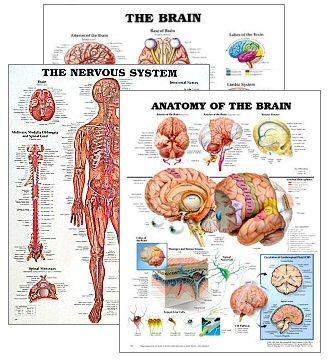 Brain Function Chart7