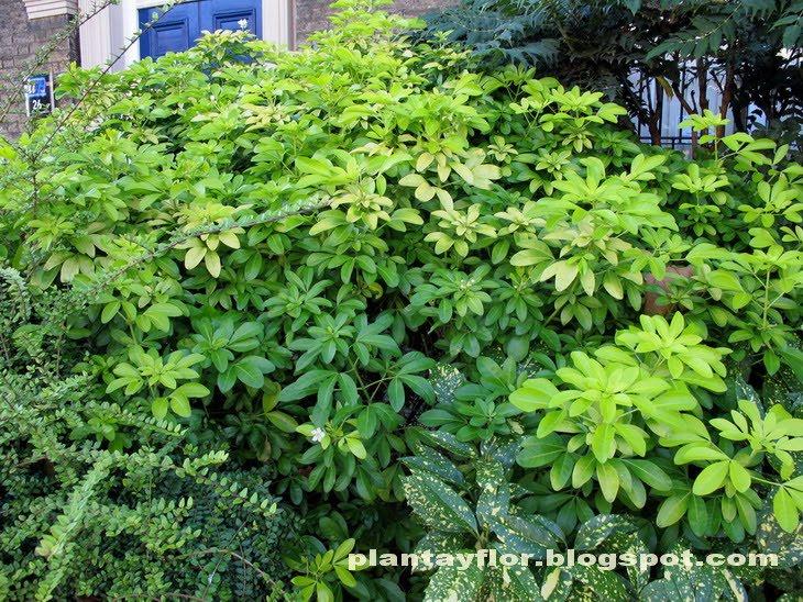 Plantas y flores choisya ternata - Arbusto pequeno con flores ...