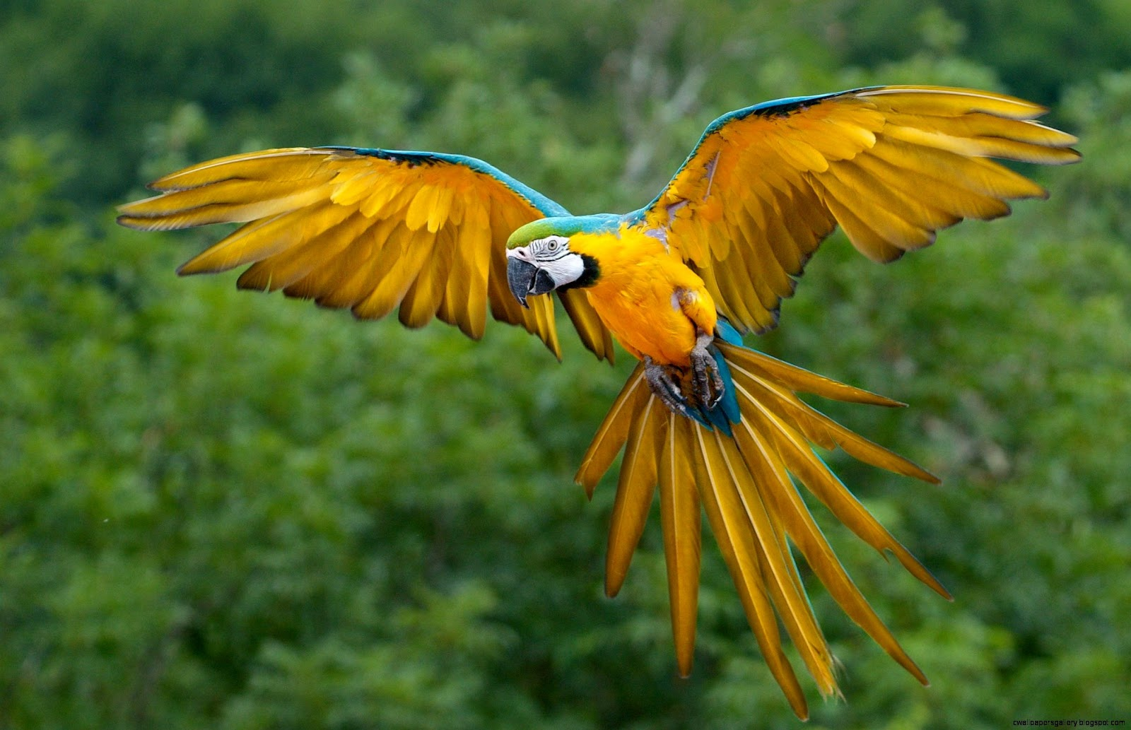 Parrot Flying | Wallpapers Gallery