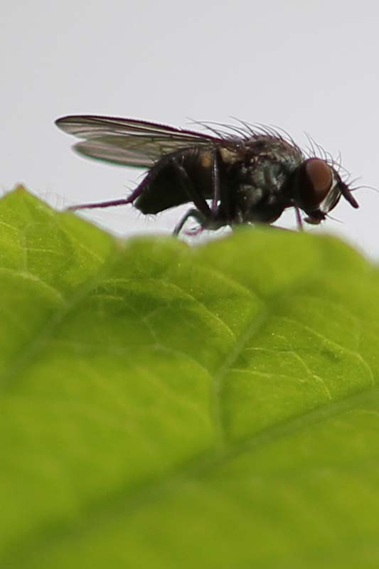 Fliege, Blatt
