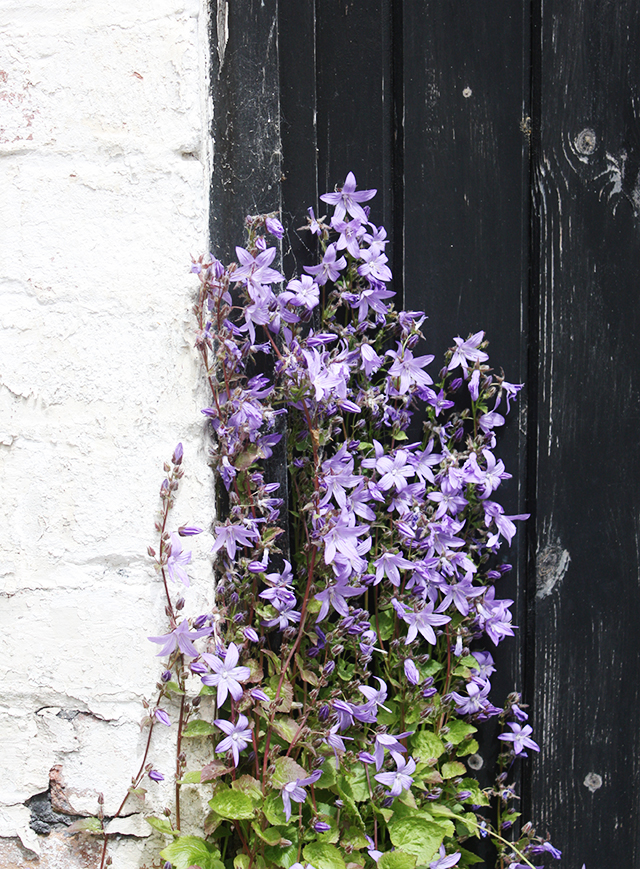 bluebells by worn textured door
