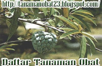 Manfaat Dan Khasiat Tanaman Buah Nona  (Annona reticulata L.)