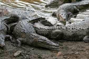 Grupo de cocodrilos