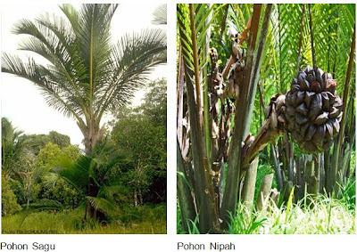 sagu dan nipah - flora yang ada di papua