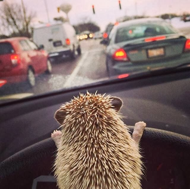 Funny animals of the week - 7 March 2014 (40 pics), hedgehog driving car