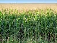 Cara menanam jagung tanpa repot