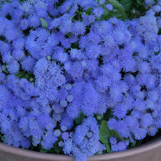 Amazing Blue Ageratum Houstonianum