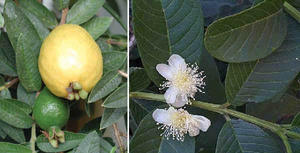 Orto per tutti piante da frutto esotiche for Vendita piante esotiche