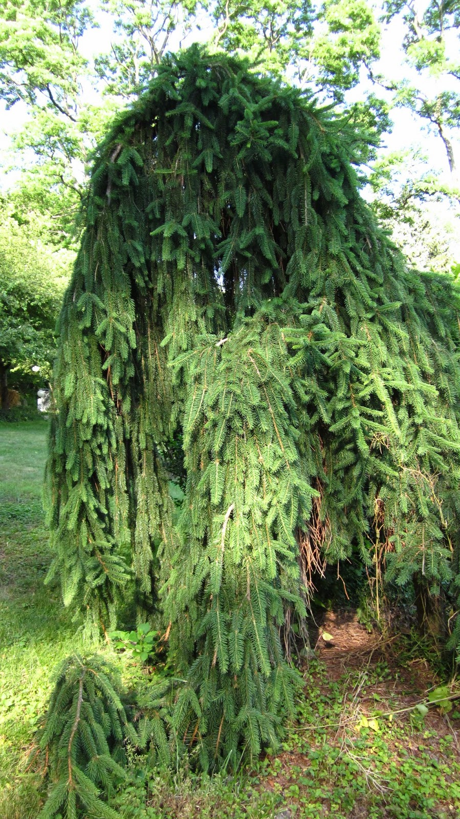 spruce pine big and beautiful singles Spruce, fir, pine, and hemlock comprise and graceful, pendulous branches great as a single specimen planting canaan fir is a beautiful.