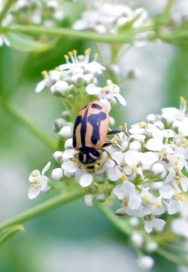 Hippodamia sinuata_3845