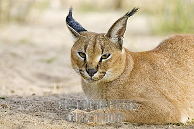 Caracal Wildlife Facts And New Photos The Wildlife