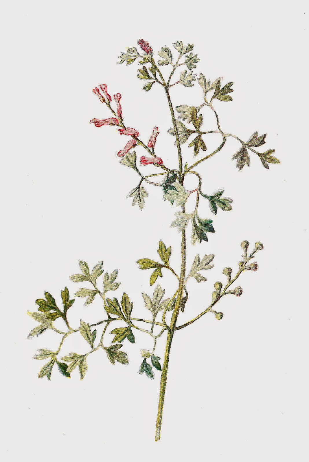 Free Digital Flower Graphic Wildflower Clip Art Of Fumitory