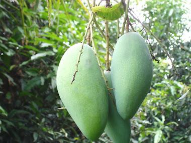 ผลมะม่วงเขียวใหญ่ ลูกละ 1 กิโลกรัม