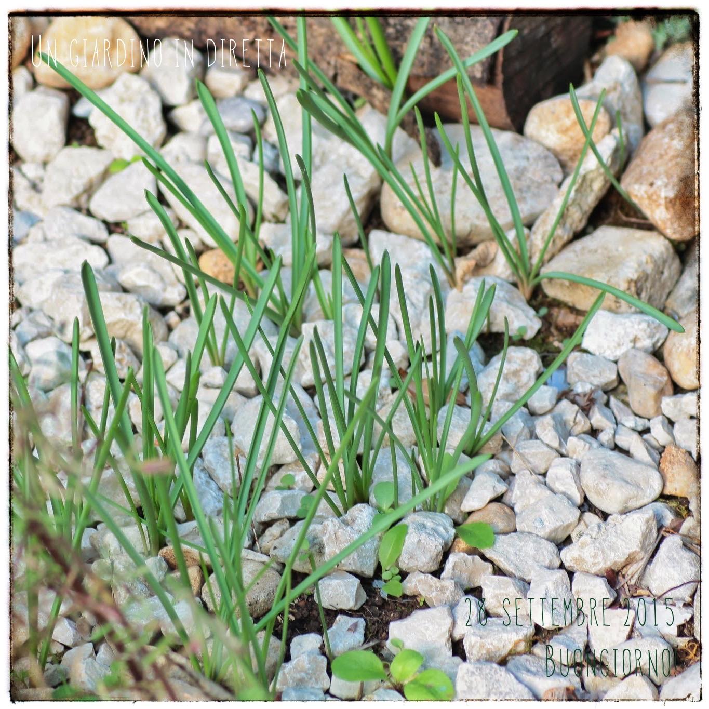 Fiori di settembre muscari muscari armeniacum un - Fiori di giardino ...