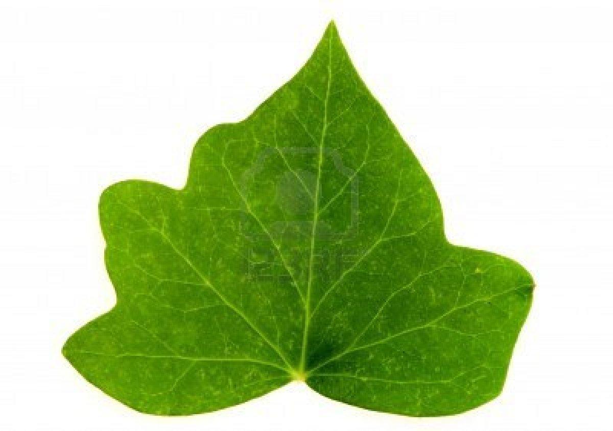 Image gallery hojas for Arboles de jardin de hoja caduca