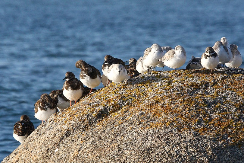Grands gravelots, bécasseaux sanderlings et tournepierres.