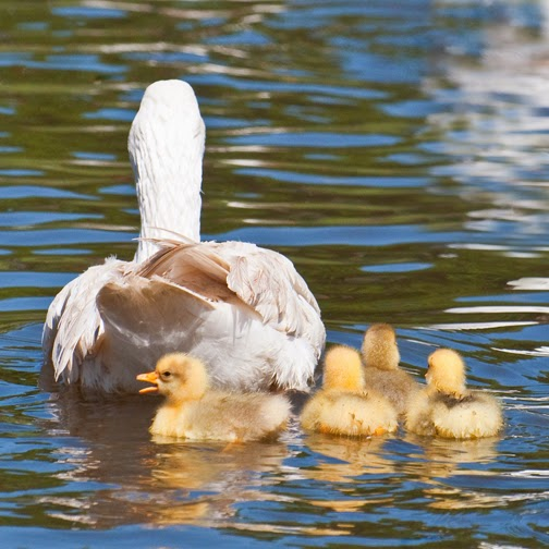 Embden goose with goslings on water