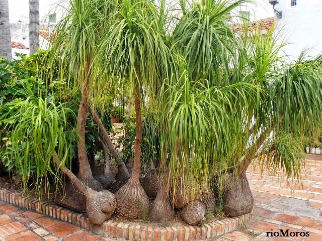 Plantas para sol related keywords plantas para sol long - Planta pata de elefante ...