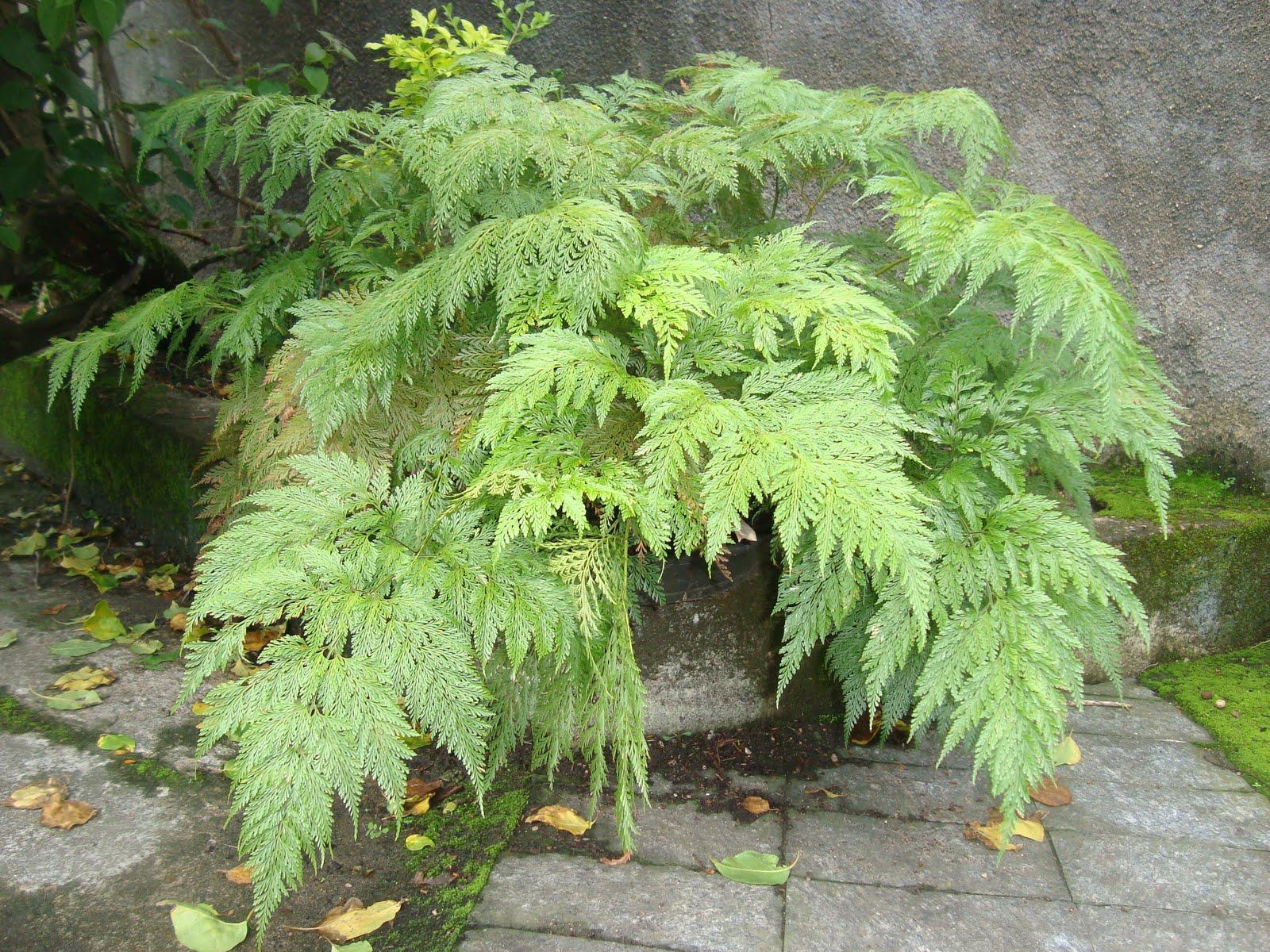 plantas jardim vertical meia sombra : plantas jardim vertical meia sombra:Os Paisagistas: Plantas ornamentais de sombra
