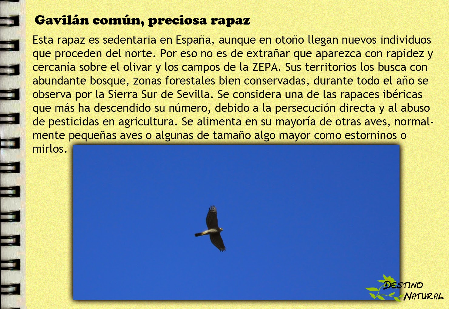 Diario de campo- gavilán común