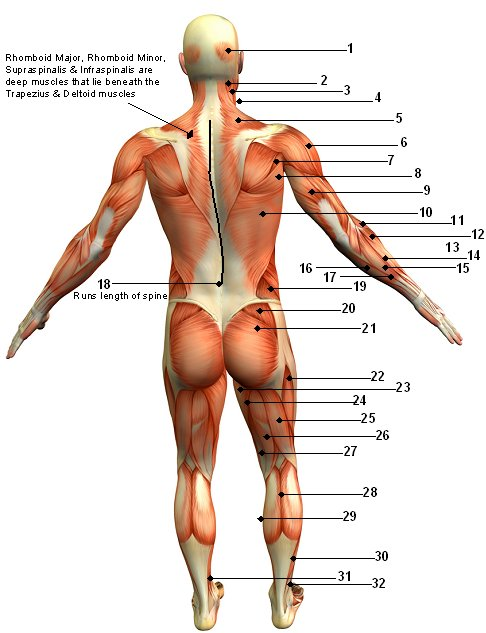Adult back diagram electrical work wiring diagram the injured athlete featherblog rh feathermanblog blogspot com labeled diagram human back human skeleton diagram back ccuart Images