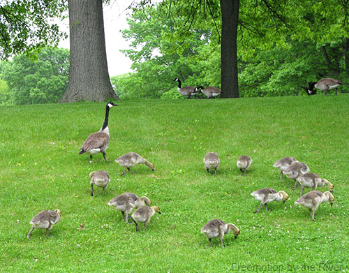 Canadian geese with bigger babies