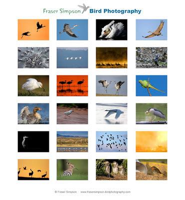 © Fraser Simpson  ·  www.frasersimpson-birdphotography.com