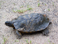 Wood Turtle