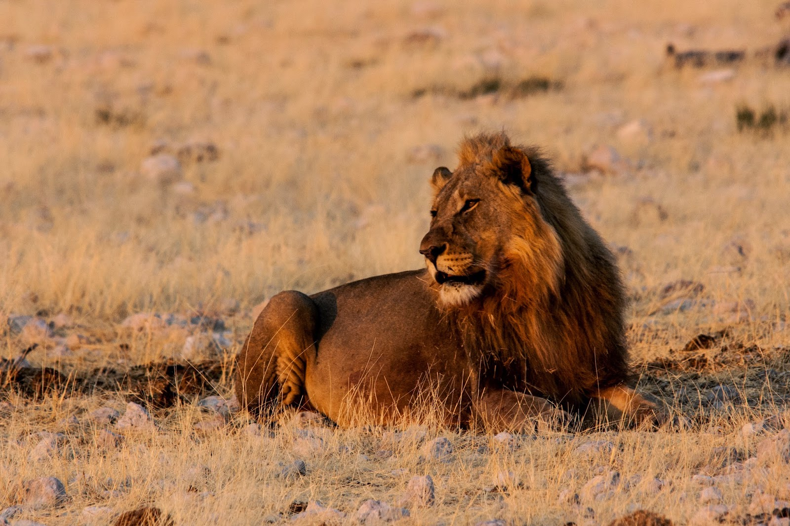 adult male lion etosha namibia
