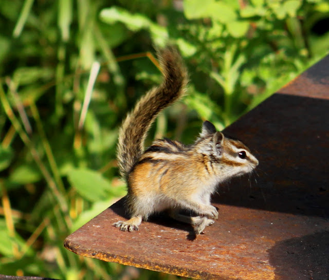 Still Life With Birder: Least Chipmunk