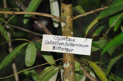 Calophyllum pulcherrimum