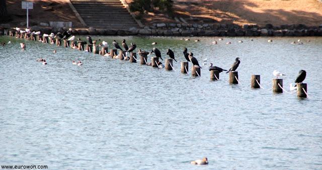 Aves acuáticas en el Parque Ohori
