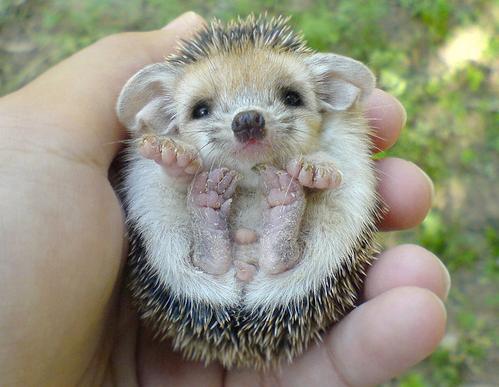 http://3.bp.blogspot.com/-car0Eh1ocAA/TmEHu3tD3eI/AAAAAAAAALg/xxEizSgUOgI/s1600/baby-hedgehog.png
