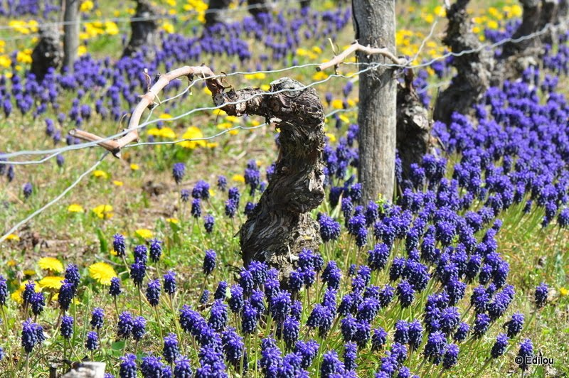 le cep, Vine-stock, Виноградная лоза.