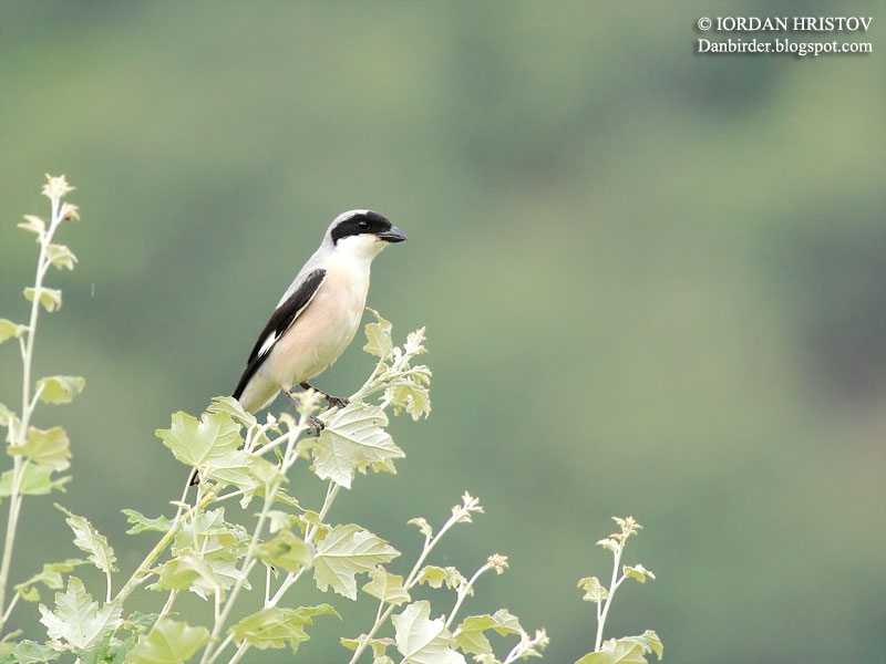 Lesser grey Shrike photography