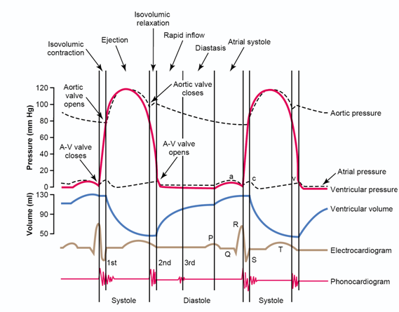 The Cardiac Cycle Mse Physiology