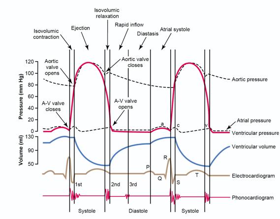 the cardiac cycle | MS...