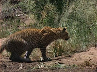 Blog Safari Club, documental online, Leopardo , la noche del cazador