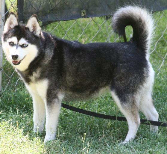about dog alaskan klee kai how well is your alaskan klee