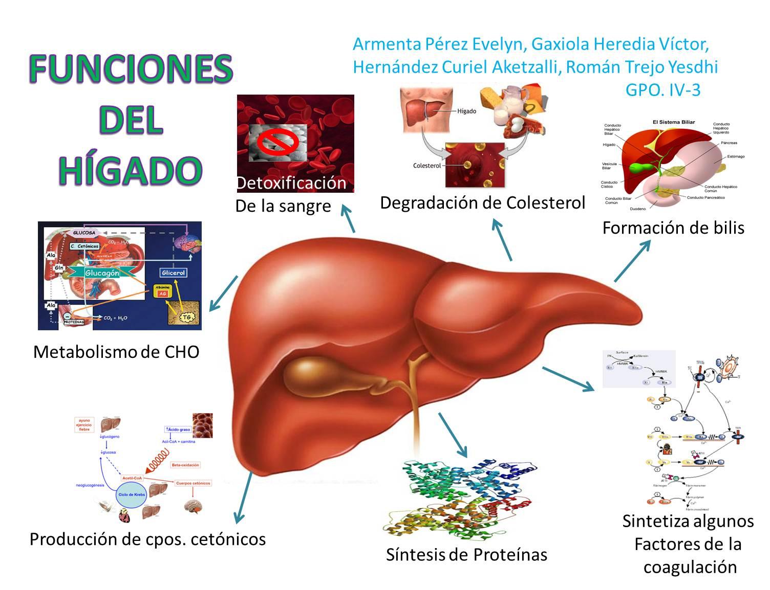 Perfecto Ubicación Hígado Y La Función Friso - Anatomía de Las ...