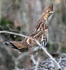 connor s landform blog pennsylvania state bird