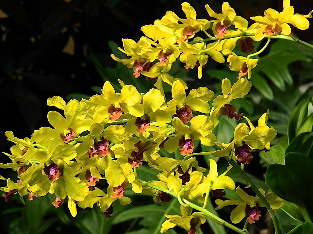 Bunga Orkid Bunga Orkid