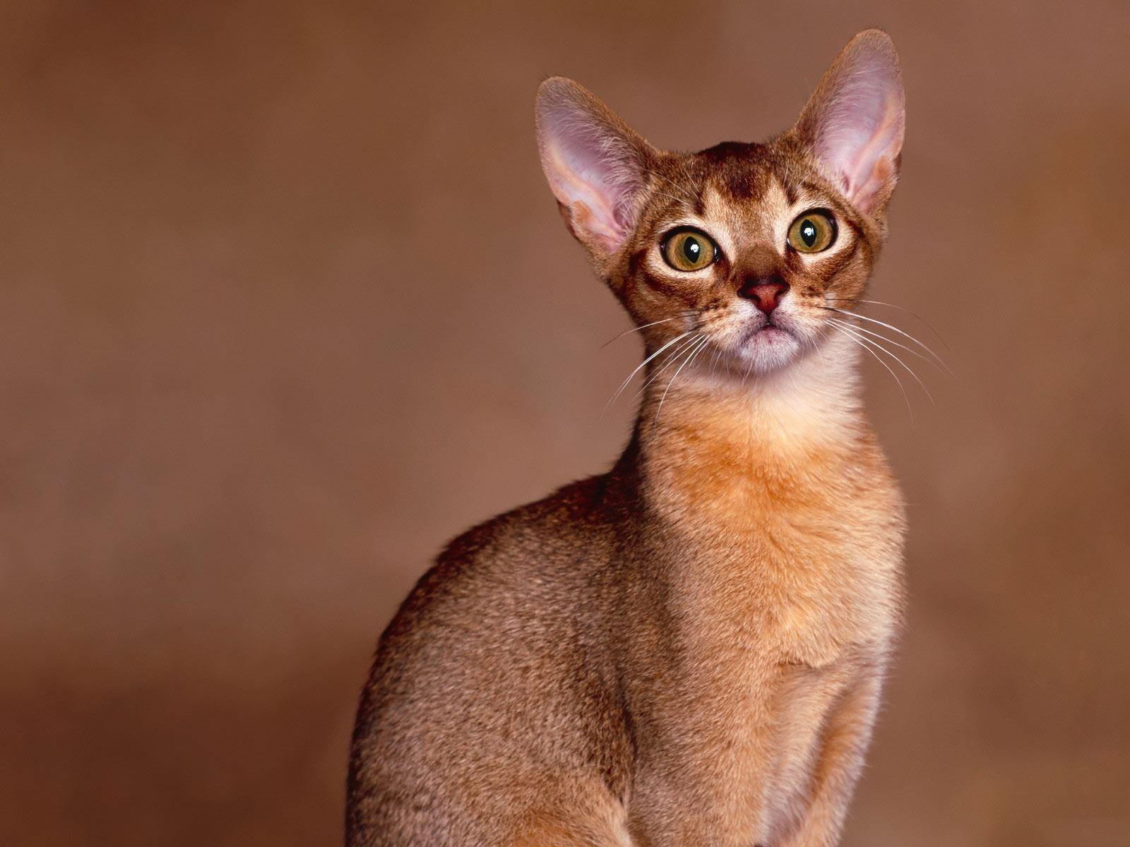 Is abyssinian cat hypoallergenic